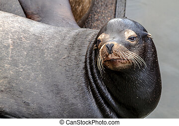 Pacific Northwest Sea Lions and Seals - Close up of sea lion...