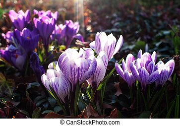 Crocus Sunrise - Several crocus flowers open their petals as...