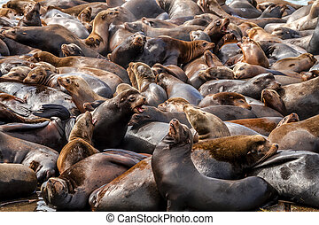 Pacific Northwest Sea Lions and Seals - Many sea lions and...