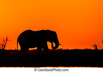 Silhouette of an Elephant - A bull elephant stands and feeds...