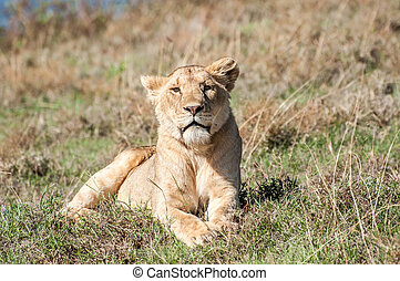 Lioness at rest - A female lion lies in the grass of a hill...