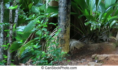 Double nut of Coco de mer. Vallee de Mai Nature Reserve in...