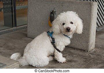 white poodle curious before shop - weisser Pudel wartet...