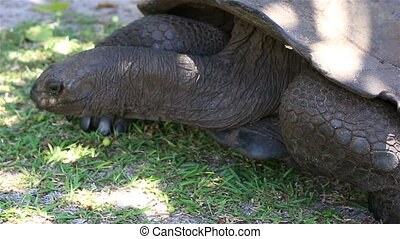 Aldabra giant tortoise eats grass Island Curieuse in...