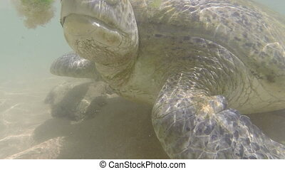 large sea turtle underwater close-up
