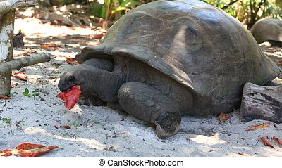 Aldabra giant tortoise eats leaves Island Curieuse in...