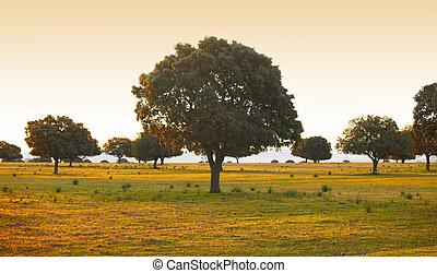 Oak holms, ilex in a mediterranean forest Cabaneros park,...