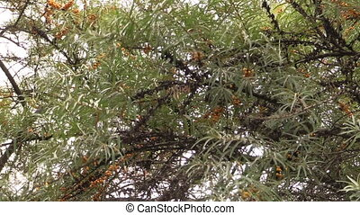 buckthorn tree berry - Buckthorn tree branches with yellow...