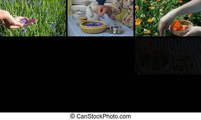 natural herb tea collage - Hands gather herb flowers plants...