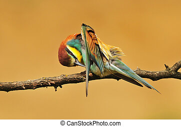 European bee eater standing on a twig and cleaning it's...