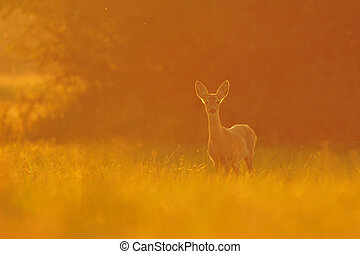 Roe deer - Photo of roe deer at sunset