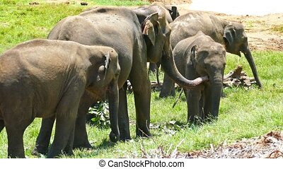 Elephants at the Pinnawala in Sri Lanka - Elephants at the...