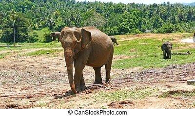 Elephants at the Pinnawala in Sri Lanka - Elephants at the...