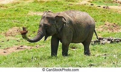 Elephant at the Pinnawala in Sri Lanka - Elephant at the...