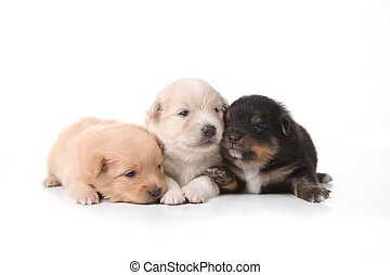 Three Pomeranian Newborn Puppies With Eyes Open - Three...