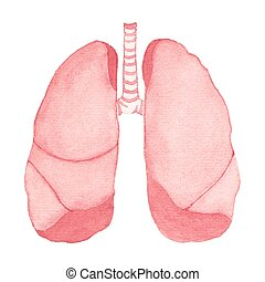 Watercolor realistic human lungs on the white background,...
