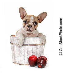 Puppy in an Apple Barrel - Cute Puppy in an Apple Barrel