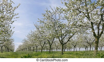 Blooming cherry tree orchard