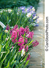 Hyacinths flowers - Purple hyacinths flowers in the spring...