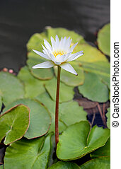 white water lily - gentle full-blown white lily in the pond