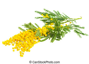 French mimosa - Fresh twig of french mimosa isolated on...