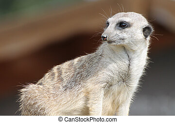Suricate in the zoo on brown background