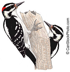 Hairy Woodpecker - pair Picoides villosus Pencil drawing