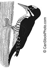 Black-backed Woodpecker Picoides arcticus Pencil Drawing