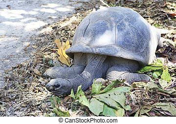 Aldabra giant tortoise in island Curieuse Seychelles