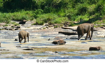 Elephants in the river - Sri Lanka