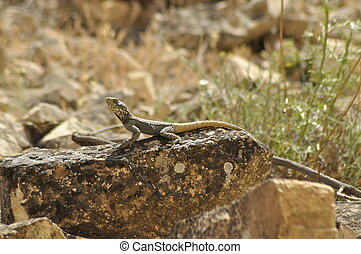 Lizard basking in the sun. Cold-blooded reptile. Skin...
