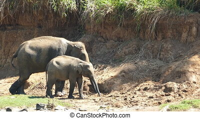 Elephants family at the Pinnawala in Sri Lanka - Elephants...