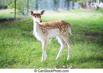 Roe deer in an enclosure
