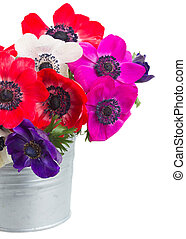 anemone flowers - bouquet of blue, pink and red anemone...