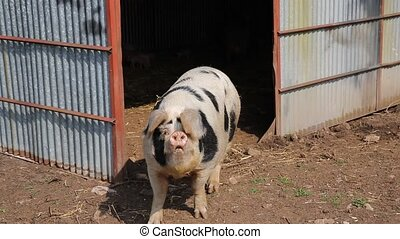 Spotted sow female pig Pietrain breed looking to camera...