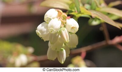 Blueberry flower in Japan