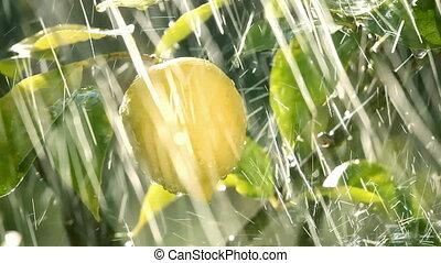rain on lemon fruit