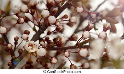 Sunny Spring Morning in Plum Garden - Flowers Bloom on the...