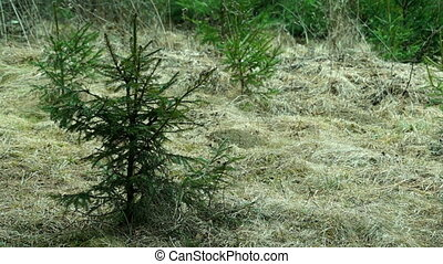 Young Spruce Swaying in the Wind on a Hillside