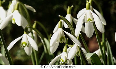 Bee Flies Around Young Snowdrops Swaying in the Wind. Macro...