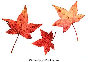 Sweetgum leaves (Liquidambar) in autumn colors against white...