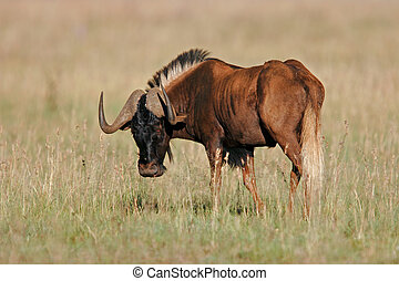 Black wildebeest - Male black wildebeest (Connochaetes...