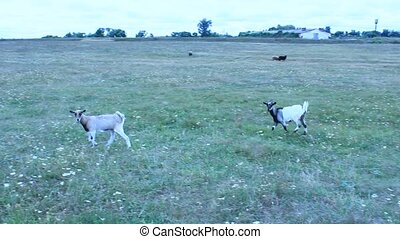 Goat and kid on the pasture - Goat and kid on the green...