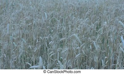 field of ripe wheat - field of ripe and fluttering spikelets...