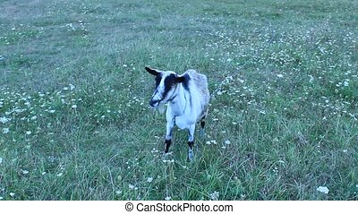 Goat standing on the pasture - grey goat standing on the...