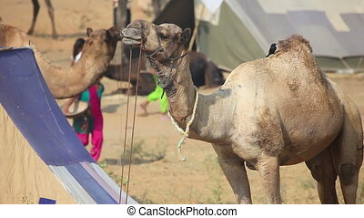 Camel chewing his food at the Pushkar camel fair, Rajasthan,...