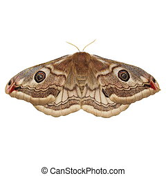 Emperor Moth Saturnia pavonia female, isolated on white...