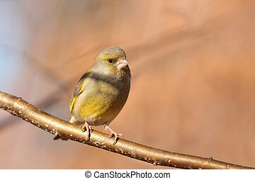 Greenfinch (Carduelis chloris) on a twig.