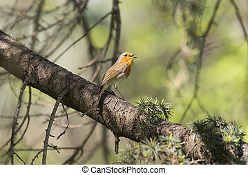 Erithacus rubecula singing in the forest