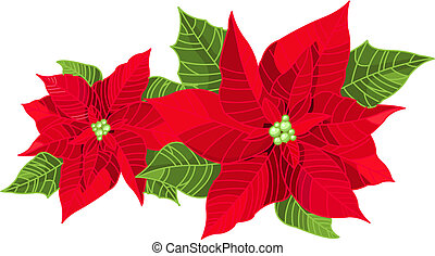 Christmas decoration poinsettia flower Euphorbia pulcherrima...